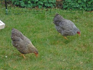 Chickens pecking the grass in the garden.