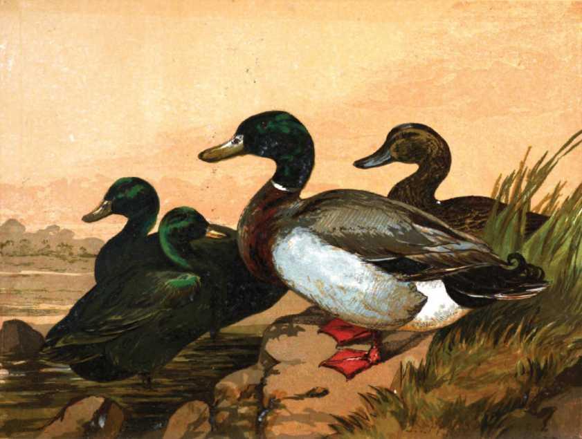 Black East Indian Ducks