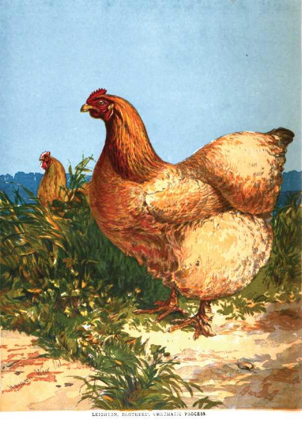 Buff Cochin Hen