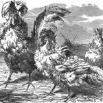Origin of The Frizzled Fowl