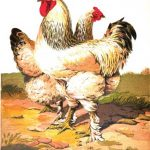 Cross Breeding - Hybrid Chickens