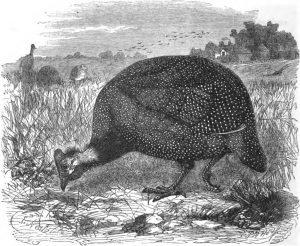 Guine Fowl Engraving