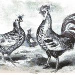 French Poultry Breeds & Business