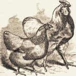 Preface to The Poultry Book 1853