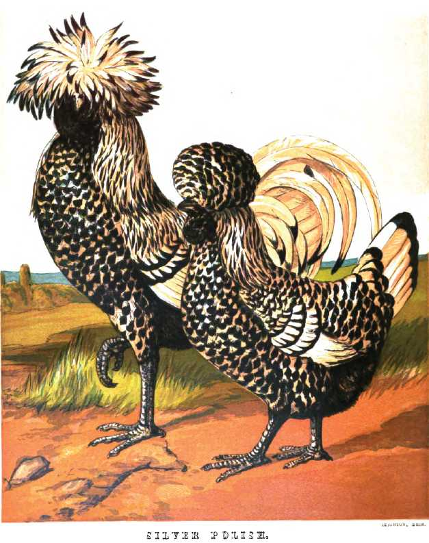 Keeping Polish Chickens - The Poultry Pages