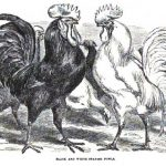 Spanish Chickens & Colombian Chickens