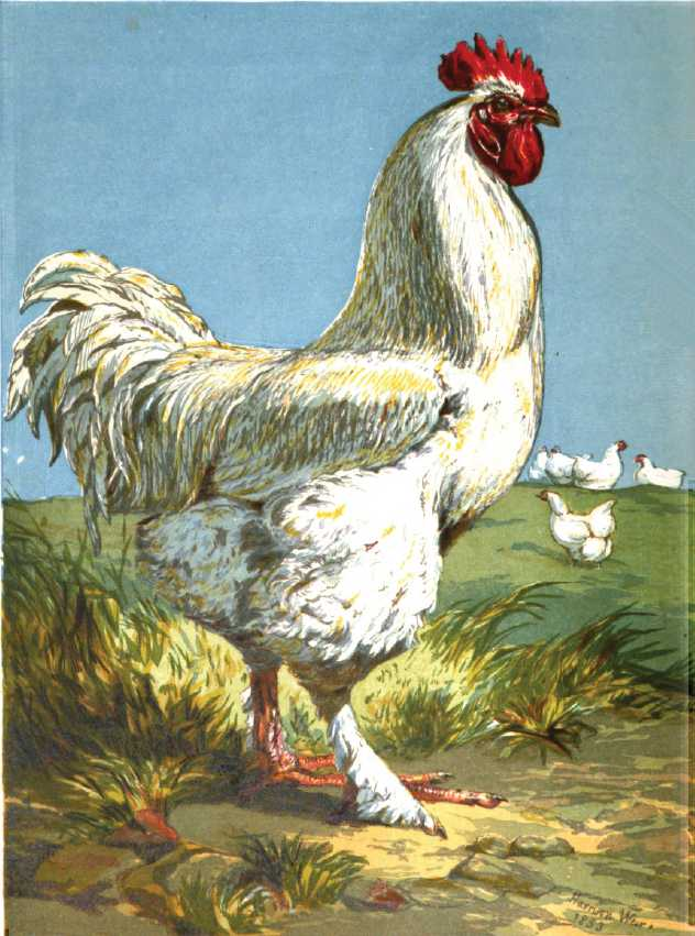 White Shanghae Cockerel