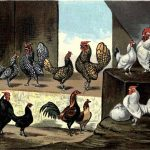 Bantam Breeds of Chickens