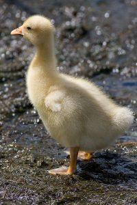 Embden Goose Gosling