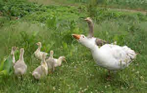 Breeding Geese and Goslings