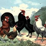 Hamburgh Breed Chickens