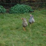 Keeping Your Chickens Happy & Contented