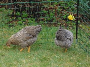 Free Ranging Hens - Poultry Land Management