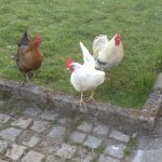 Flock Density Regulations for Free Range Poultry