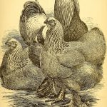 Keeping Hens for Maximum Egg Production