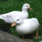 Popular Breeds of Ducks for Backyard or Garden