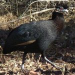 A Guide to Guinea Fowl Hatching, Housing, Feeding & Health