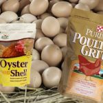 Feeding Chickens Eggshells, Crushed Oyster Shell & Grit