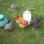 Organic Registered Certification Bodies, Certification Organic Poultry