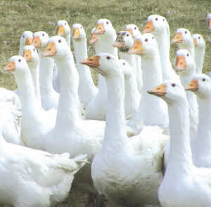 Organic Geese - Organic Poultry Standards