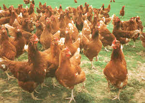 Organic Hens - Alternative Organic Poultry Standards