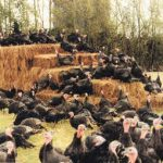 Which Organic Poultry Standard to Follow?