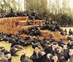 Organic Turkeys - Which Organic Poultry Standard