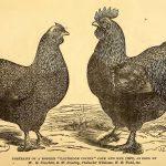 Breeding Chickens - Selecting Stock
