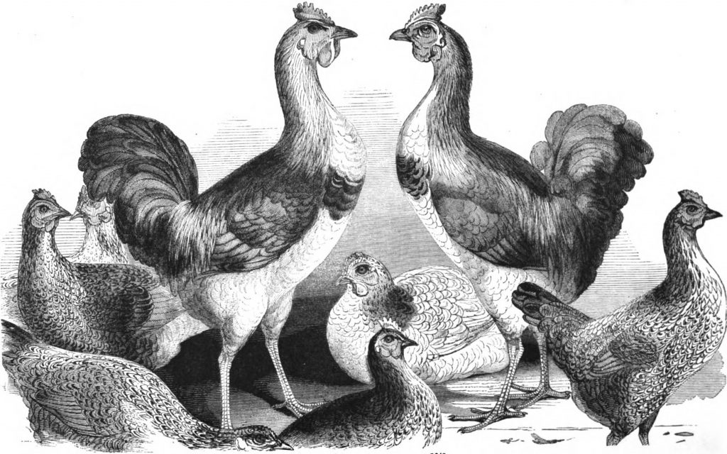 Queen Victoria's Chickens - Cochins Imported 1843