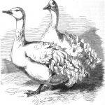 Sebastopol Geese AKA Sevastopol Geese