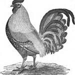 Malays & Dorking Chickens