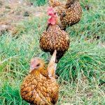 Breeding Bantams - In-breeding & Closed Flock Breeding