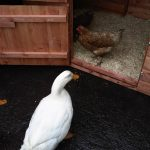 Duck Housing – Accommodation and Enclosed Runs