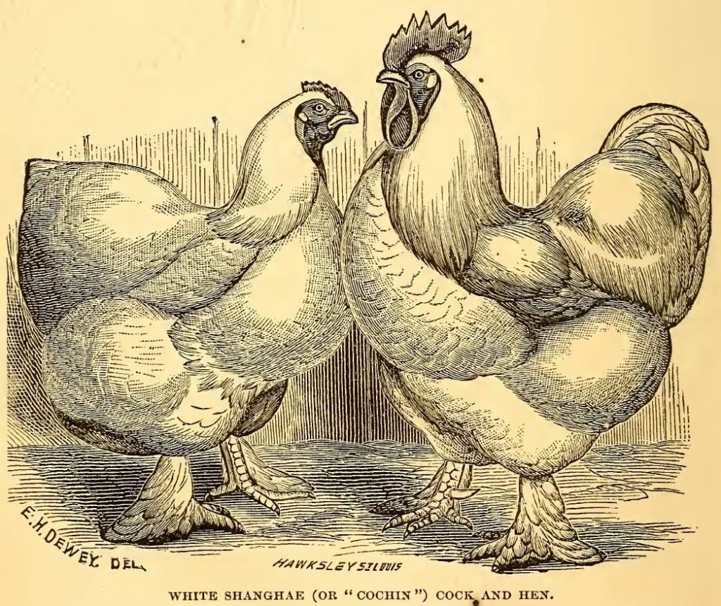 White Cochin Cock and Hen
