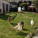 Keeping Chickens in the Garden