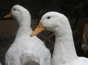 Aylesbury Ducks