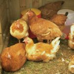Pecking Order in Hens - Dealing with Aggressive Poultry
