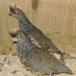 Aviary Coturnix Quail - A guide to Aviary Coturnix Quail