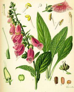 Digitalis Purpurea Poisonous Plant