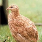 Introduction to Keeping Quail - Breeds, Incubation, Housing & Rearing Quail