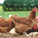Best Grass Seed Mix for Chickens – Poultry Pasture Seed Mix