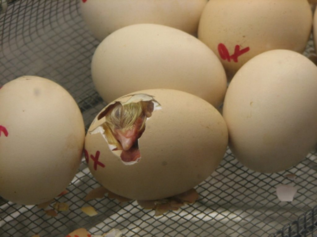 Hatching Eggs in Incubator