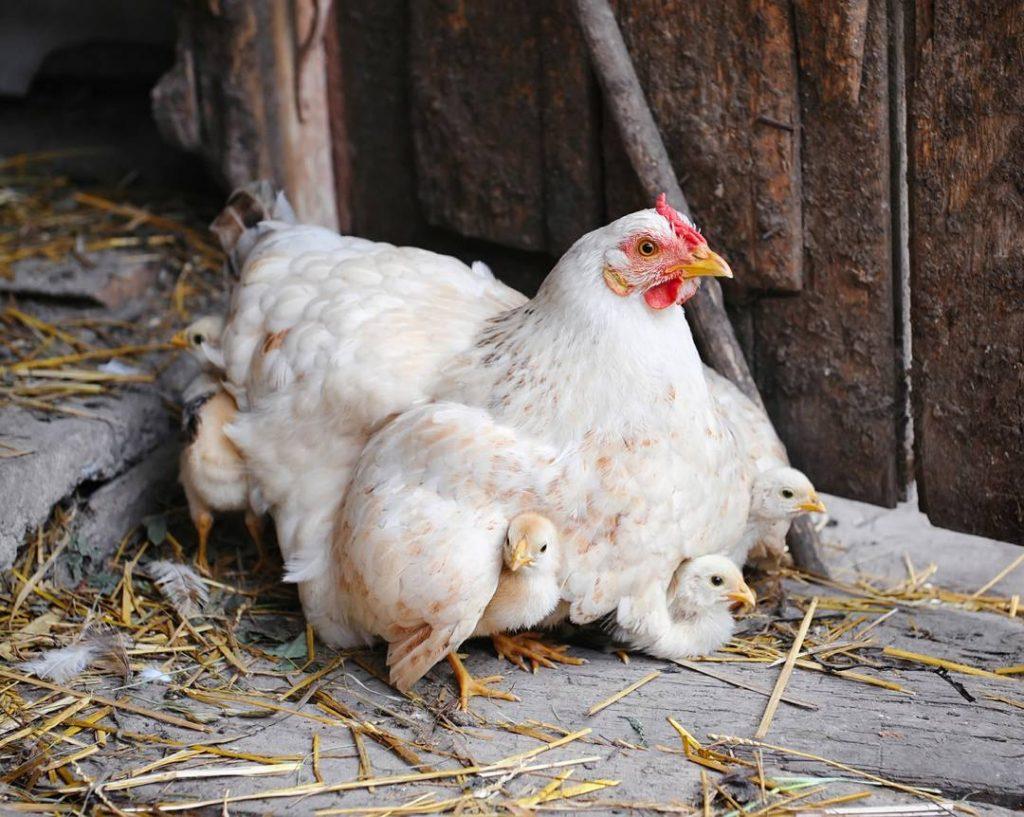 Hen Brooding Chicks