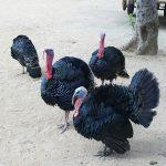 Guide to Keeping Turkeys - Turkey Diseases