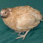Coturnix Quail Colours of Breeds - Variety of Colours