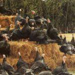 Breeding Turkeys - Genetics & Stock