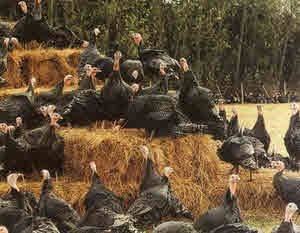 Kelly Bronze Turkeys - Breeding Turkeys