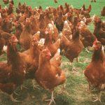 Pasture Feeding Hens for Better Eggs