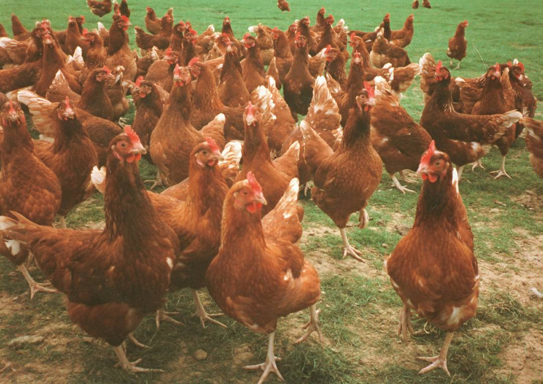 Pasture Feeding Hens For Better Eggs The Poultry Pages