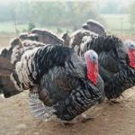 Breeding Turkeys - Turkey Rearing: Good Stock